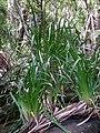 Machaerina insularis Erskine Creek, Lord Howe Island.JPG