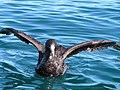 Macronectes halli (Northern Giant Petrel).jpg