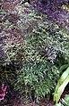 Madeira, Palheiro Gardens - Himmelsbambus (Nandina domestica) IMG 2305.JPG