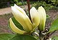 Magnolia 95T-24.jpg
