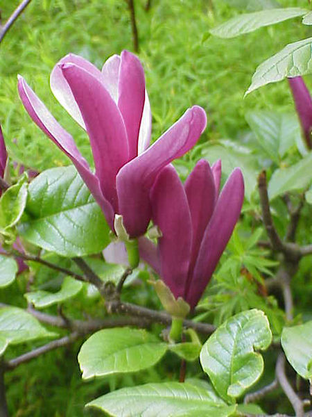 चित्र:Magnolia liliiflora3.jpg