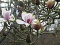 Magnolia sprengeri (12994674673).jpg
