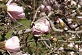 Magnolia stellata 8zz.jpg