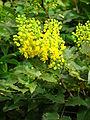 Mahonia aquifolium flowers 02.JPG