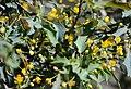 Mahonia fremontii - Desert Holly (33308864446).jpg