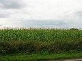 Maize Field, Eastdean Hill - geograph.org.uk - 225654.jpg