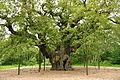 Major Oak (9508).jpg