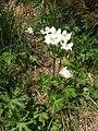 Malá Fatra, Anemonastrum narcissiflorum.jpg