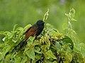 Malagasy Coucal (Centropus toulou), Ankarafantsika, Madagascar (4315997068).jpg