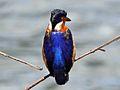 Malagasy Kingfisher RWD7b.jpg