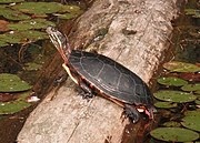 Male Painted Turtle Basking Mirror Image.jpg