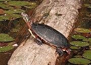 Male Painted Turtle Basking Mirror Image.jpg