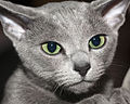 Male Russian Blue cat at the 2011 Moscow Cat Show (5624853840).jpg