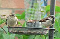 Male and female House Sparrows - geograph.org.uk - 1012468.jpg