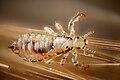 Male human head louse (4900867458).jpg