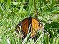 Male monarch butterfly (Danaus plexippus).jpg