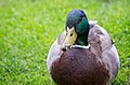 Mallard Duck (5729007662).jpg