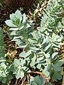 Malpighiales - Euphorbia myrsinites - 4.jpg