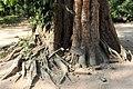 Malpighiales - Irvingia malayana - 3.jpg