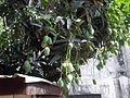 Mango - panoramio (1).jpg