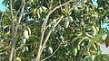 Mango tree with a lot of mangoes of Khulna, Bangladesh.JPG