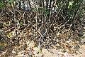 Mangroves in Okinawa prefecture - panoramio (3919).jpg