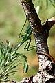 Mantis (2828851406).jpg