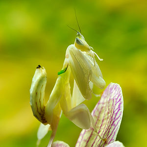 Mantis - Aggressive mimicry: Malaysian orchid mantises are camouflaged pink or yellow, matching the coloration of local orchids.