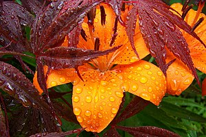 Maple leaves over orange flower covered with d...
