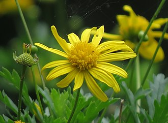 Euryops chrysanthemoides - Detail of Euryops chrysanthemoides flower