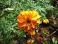 Marigold - ചെട്ടിമല്ലി 03.JPG