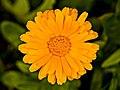 Marigold - Flickr - Stiller Beobachter.jpg