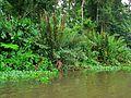 Marsh Fern (Acrostichum danaefolium) (6941542224).jpg