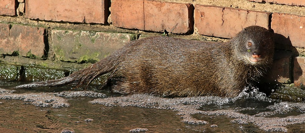 The average adult weight of a Marsh mongoose is 3.6 kg (7.94 lbs)