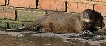 Marsh mongoose or water mongoose, Atilax paludinosus, at Rietvlei Nature Reserve, Gauteng, South Africa (22548192738).jpg