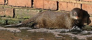 Marsh mongoose - Image: Marsh mongoose or water mongoose, Atilax paludinosus, at Rietvlei Nature Reserve, Gauteng, South Africa (22548192738)