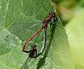 Mating Large Red Damselflies (34270508444).jpg