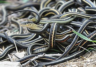Garter snake - Mating ball