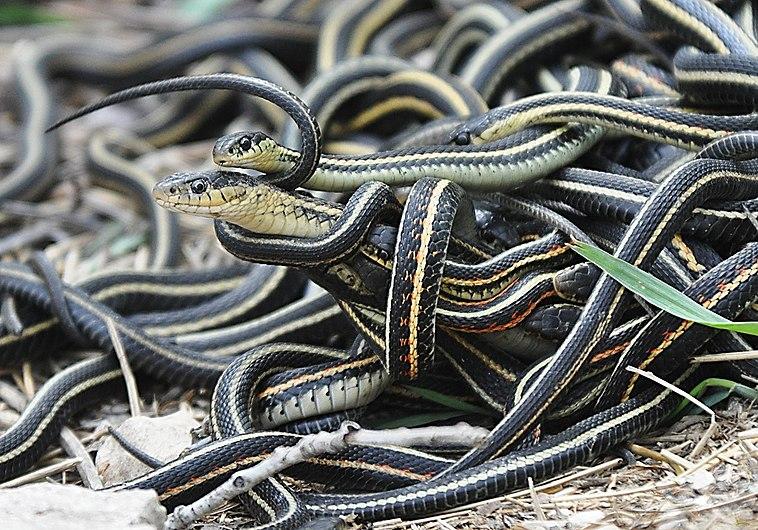 Mating ball of garter snakes.jpg