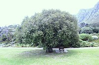 Maytenus acuminata Silkybark tree South Africa7 2