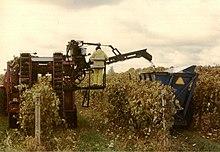 la photographie couleur montre une des premières machines à vendanger aux États-Unis. La machine n'a pas de godet et vide son raisin dans la benne d'un tracteur via un tapis roulant tout en avançant. Un opérateur situé face au tapis peut enlever les feuilles et morceaux de sarments.