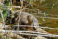 Mediterranean Pond Turtle (Mauremys leprosa) (25974295202).jpg
