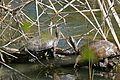 Mediterranean Pond Turtles (Mauremys leprosa) (26028047455).jpg