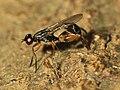 Megamerinidae wynaad2.jpg
