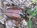 Melolontha melolontha 10.JPG