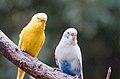 Melopsittacus undulatus -Fort Worth Zoo, Texas, USA-8a (1).jpg