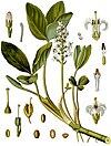 Menyanthes trifoliata - Köhler–s Medizinal-Pflanzen-225.jpg