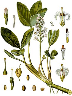 Menyanthaceae