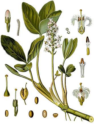 Menyanthaceae - Menyanthes trifoliata
