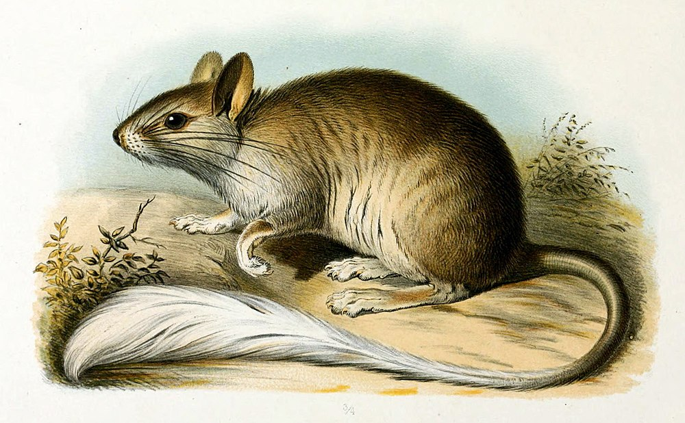 The average litter size of a Golden-backed tree-rat is 2